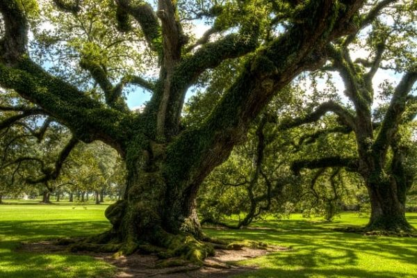 Giant, centuries-old live oak trees populate the grounds of a hill country home.