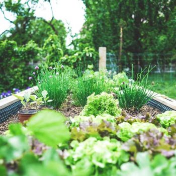 A backyard garden with vegetables