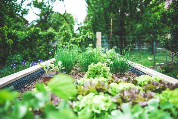 A backyard garden with vegetables